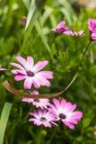 Υπέροχα ανθίζοντας πορφυρό λουλούδι μαργαριτών στον κήπο Στοκ φωτογραφίες με δικαίωμα ελεύθερης χρήσης