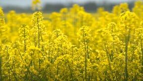 Υπέροχα κίτρινα λουλούδια βιασμών ελαιοσπόρων στον τομέα φιλμ μικρού μήκους