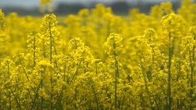 Υπέροχα κίτρινα λουλούδια βιασμών ελαιοσπόρων στον τομέα απόθεμα βίντεο