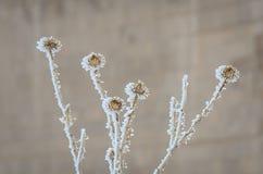 Υπέροχα παγωμένα λουλούδια αγκαθιών κατά την άποψη κινηματογραφήσεων σε πρώτο πλάνο στοκ φωτογραφίες