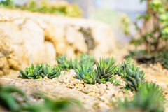 Υπέροχα τακτοποιημένος κάκτος στο βοτανικό κήπο σε Doi Angkhang Στοκ Φωτογραφία