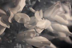 Υπέρυθρη μακροεντολή λουλουδιών φθινοπώρου σαρκώδης στοκ εικόνες