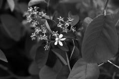 Υπήρξε μόνο ένα άσπρο λουλούδι που αφέθηκε στον κλάδο Σε μια γραπτή έκδοση Στοκ εικόνες με δικαίωμα ελεύθερης χρήσης