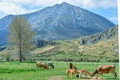 Υπαίθρια βοοειδή που αυξάνουν στο τοπίο βουνών στοκ φωτογραφίες