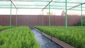 Υπαίθρια πλατφόρμα για το πότισμα των εγκαταστάσεων στα μικρά δοχεία, υδροπονικό σύστημα πέρα από τα σπορόφυτα μια καυτή θερινή η φιλμ μικρού μήκους