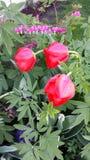 υπαίθρια τουλίπα κόκκινων ανοίξεων λουλουδιών Στοκ Φωτογραφία
