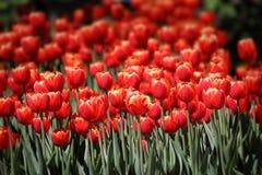 υπαίθρια τουλίπα κόκκινων ανοίξεων λουλουδιών Στοκ φωτογραφία με δικαίωμα ελεύθερης χρήσης