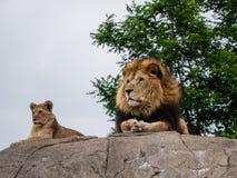 Υπερήφανες λιοντάρι και λιονταρίνα Στοκ εικόνα με δικαίωμα ελεύθερης χρήσης