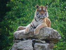 Υπερήφανη τίγρη Στοκ Εικόνες