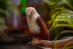 Υπερήφανος και εκπαιδευμένος αετός στοκ εικόνες