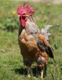Υπερήφανος κόκκορας με τον κόκκινο λόφο υπαίθρια στο κοτέτσι κοτόπουλου στοκ εικόνα με δικαίωμα ελεύθερης χρήσης