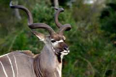 Υπερήφανος ταύρος kudu Στοκ Εικόνες