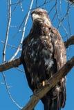 Υπερήφανος χρυσός αετός στο δέντρο Στοκ εικόνες με δικαίωμα ελεύθερης χρήσης