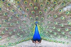 Υπερήφανο μπλε peacock που παρουσιάζει όμορφα φτερά Στοκ φωτογραφία με δικαίωμα ελεύθερης χρήσης