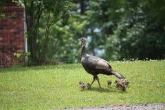Υπερήφανο momma Τουρκία με τα μωρά Στοκ Εικόνα