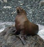 Υπερήφανο sea-lion στοκ φωτογραφία με δικαίωμα ελεύθερης χρήσης