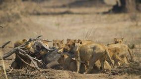 Υπερηφάνεια λιονταριών που σκοτώνει το αφρικανικό Buffalo στοκ εικόνα