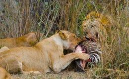 Υπερηφάνεια λιονταριών που τρώει το θήραμα Εθνικό πάρκο Κένυα Τανζανία mara masai serengeti στοκ φωτογραφία
