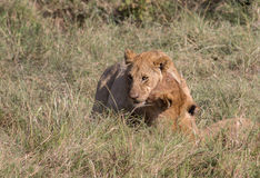 Υπερηφάνεια και Cubs λιονταριών στην Κένυα Στοκ Εικόνες