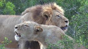 Υπερηφάνεια λιονταριών που βρυχείται μαζί - μεγαλύτερο εθνικό πάρκο Kruger απόθεμα βίντεο