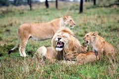 υπερηφάνεια λιονταριών Στοκ φωτογραφίες με δικαίωμα ελεύθερης χρήσης