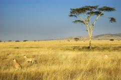 υπερηφάνεια λιονταριών στοκ φωτογραφία