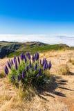 Υπερηφάνεια της Μαδέρας - Echium Fastuosum, Pico do Arieiro, Πορτογαλία, Ευρώπη Στοκ Εικόνες