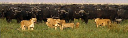 Υπερηφάνεια των λιονταριών που κυνηγούν το Buffalo Στοκ Φωτογραφίες