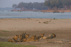 Υπερηφάνεια των λιονταριών στις όχθεις του ποταμού Ζαμβέζη Στοκ Φωτογραφία