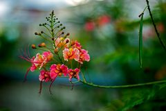 Υπερηφάνεια των λουλουδιών εγκαταστάσεων των Μπαρμπάντος Caesalpinia Pulcherrima, στα Μπαρμπάντος στοκ εικόνες