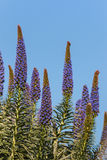 Υπερηφάνεια των λουλουδιών της Μαδέρας στοκ εικόνα με δικαίωμα ελεύθερης χρήσης
