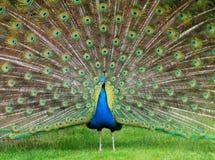 Υπερηφάνεια Peacock στοκ φωτογραφία με δικαίωμα ελεύθερης χρήσης