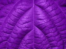 Υπεριώδες υπόβαθρο φιαγμένο από φρέσκα πράσινα φύλλα Υπεριώδες σκηνικό για το σχέδιό σας Καθιερώνουσα τη μόδα έννοια χρώματος του Στοκ φωτογραφίες με δικαίωμα ελεύθερης χρήσης