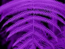 Υπεριώδες υπόβαθρο φιαγμένο από φρέσκα πράσινα φύλλα Υπεριώδες σκηνικό για το σχέδιό σας Καθιερώνουσα τη μόδα έννοια χρώματος του Στοκ Φωτογραφία