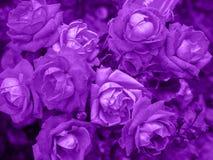 Υπεριώδες υπόβαθρο φιαγμένο από φρέσκα τριαντάφυλλα Υπεριώδες σκηνικό για το σχέδιό σας Καθιερώνουσα τη μόδα έννοια χρώματος του  Στοκ εικόνες με δικαίωμα ελεύθερης χρήσης