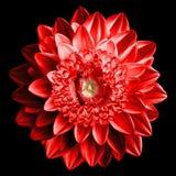 Υπερρεαλιστική μακροεντολή λουλουδιών φαντασίας κόκκινη που απομονώνεται Στοκ Φωτογραφίες