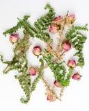 Υπερυψωμένη άποψη του σχεδίου με τα τριαντάφυλλα και τα φύλλα στο άσπρο υπόβαθρο Επίπεδο σχέδιο Στοκ Φωτογραφίες