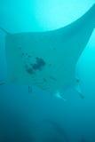 υπερυψωμένη ακτίνα manta Στοκ εικόνες με δικαίωμα ελεύθερης χρήσης