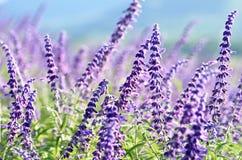 Υποβάθρου ταπετσαριών αγροτικό τοπίο λουλουδιών άνοιξη τομέων ιώδες Στοκ φωτογραφίες με δικαίωμα ελεύθερης χρήσης