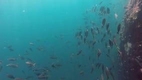 Υποβρύχια άποψη του σχολείου των ψαριών στο σκόπελο βράχου απόθεμα βίντεο