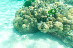 Υποβρύχια ζωή των πράσινων ψαριών και του σκληρού κοραλλιού Στοκ Φωτογραφία