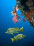 Υποβρύχια ζωή Στοκ Εικόνα