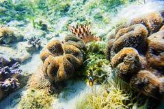 Υποβρύχια θάλασσα βλαστών anemon Στοκ Φωτογραφία