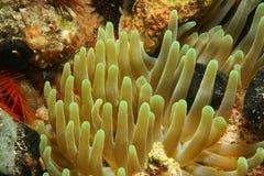 Υποβρύχια πλοκάμια πλασμάτων του anemone θάλασσας Στοκ φωτογραφίες με δικαίωμα ελεύθερης χρήσης