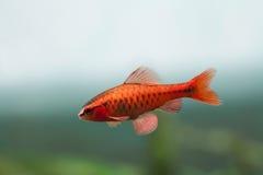 Υποβρύχια σκηνή ζωής ενυδρείων ακόμα Barb ψαριών κόκκινου χρώματος το τροπικό titteya Puntius κολυμπά στο μαλακό γαλαζοπράσινο υπ Στοκ φωτογραφίες με δικαίωμα ελεύθερης χρήσης