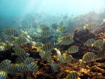 Υποβρύχια φωτογραφία ενός σχολείου κίτρινων σημαντικών ψαριών λοχιών Στοκ εικόνα με δικαίωμα ελεύθερης χρήσης