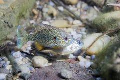 Υποβρύχια φωτογραφία του του γλυκού νερού gibbosus Pumpkinseed Lepomis ψαριών Στοκ φωτογραφίες με δικαίωμα ελεύθερης χρήσης