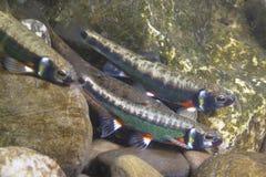 Υποβρύχια φωτογραφία του κοινού phoxinus phoxinus φοξίνων στοκ φωτογραφίες
