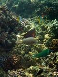 Υποβρύχια φωτογραφία Surgeonfish, Wrasse και άλλων τροπικών ψαριών στοκ φωτογραφίες