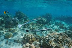 Υποβρύχια ψάρια Echeneis naucrates Ειρηνικός κωλυμάτων Στοκ εικόνες με δικαίωμα ελεύθερης χρήσης
